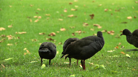 Birds in Botanical Garden Sydney Stock Video Footage