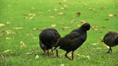 Birds in Botanical Garden Sydney Stock Video Footage