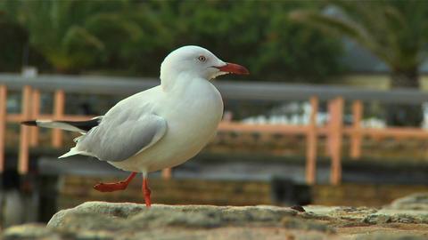 Seagull 01 Footage