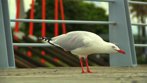 Seagull 03 Stock Video Footage