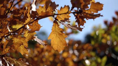 Oak tree Stock Video Footage