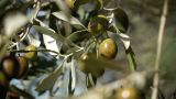 Olive Tree stock footage