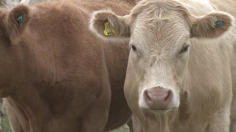 two cows close Stock Video Footage