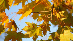 Maple Tree Stock Video Footage