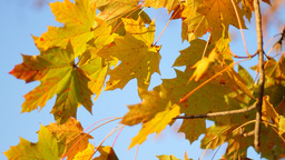 Maple Tree Footage