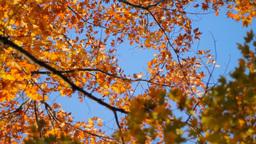 Autumn - Maple Tree Stock Video Footage