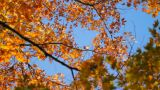 Autumn - Maple Tree stock footage