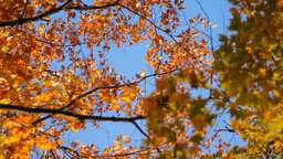 Autumn - Maple Tree Footage