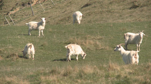 goats grazing Stock Video Footage