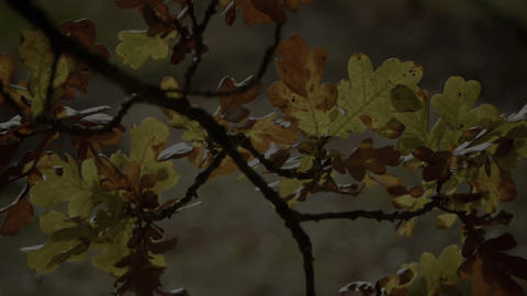 Oak tree Stock Video Footage