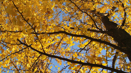 Yellow Falling Leaves Stock Video Footage