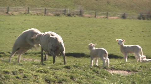 sheep head butt Stock Video Footage