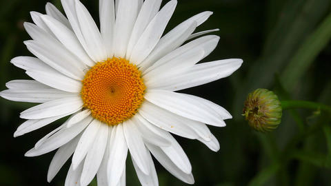 Big garden chamomile flower and bud Stock Video Footage
