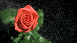 Red rose being watered in super slow motion Footage
