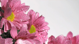 Pink daisy sprayed in super slow motion with water Footage