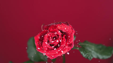 Red rose with dew drops shaking Footage