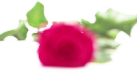 Pink rose on white background Footage
