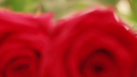 Two red roses Footage