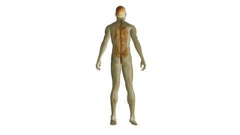 Revolving human form showing organs Animation