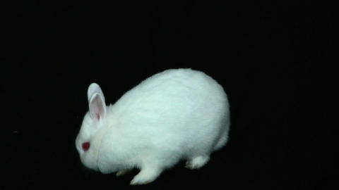Fluffy white rabbit sniffing its nose Footage