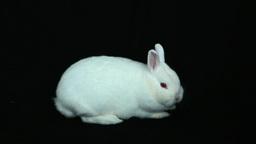 Fluffy white rabbit Footage