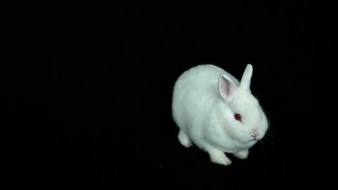 Fluffy white rabbit sniffing around Footage