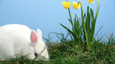 Bunny rabbit sniffing around the grass with yellow Footage