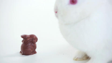 White bunny sniffing chocolate bunny Footage