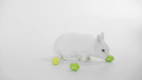 White rabbit with easter eggs rolling around Live Action