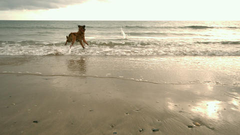 Dog running toward sea Footage