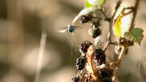 Fly flying off a shrub Footage