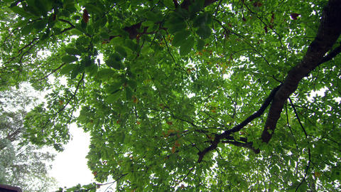 Low angle view of green leaves on a tall tree Footage