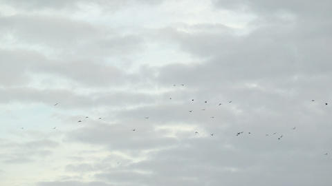 Flock Of Birds Flying stock footage