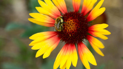 iWorking bumblebee Stock Video Footage