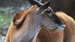 Common Eland Stock Video Footage