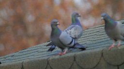 Pigeons On Roof Stock Video Footage