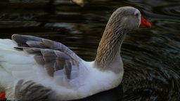 Goose Swimming Stock Video Footage
