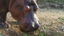 Hippopotamus With The Open Mouth Stock Video Footage