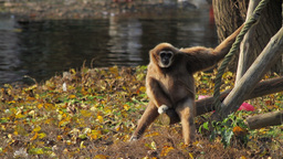 Bored Monkey Stock Video Footage