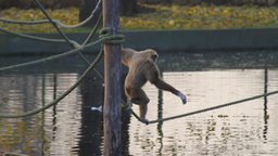 Monkey Walking Along a Tightrope Footage