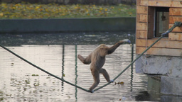 Monkey Walking Along a Tightrope Stock Video Footage