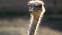 Ostrich Bird, Close-up Stock Video Footage