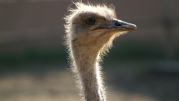 Ostrich Bird, Close-up Footage