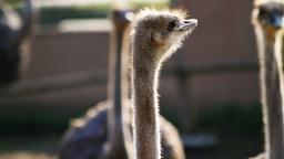 Ostrich Birds Footage