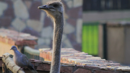 Ostrich and pigeon looking over a fence Stock Video Footage