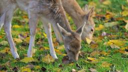 Two deer grazing grass Stock Video Footage