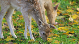 Two deer grazing grass 影片素材