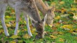 Two Deer Grazing Grass stock footage