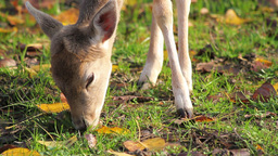 Deer grazes the grass Stock Video Footage