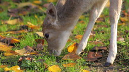 Deer grazes the grass Stock Video Footage